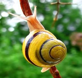 Файл:Snail-WA edit02.jpg