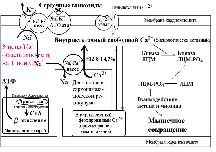 Рефлекс Лучевой
